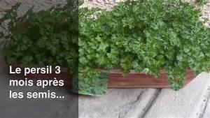 Semis De Persil : comment semer le persil ~ Dallasstarsshop.com Idées de Décoration