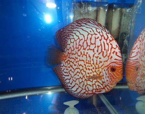 betta fish discus fish checkerboard