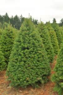 Types Of Christmas Trees In California by Douglas Fir Trees Information And Characteristics About Them