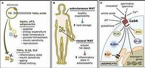White Adipose Tissue  Wat  And The Calcium