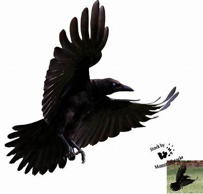 Crow Flying Raven Crows Clipart Cut Young