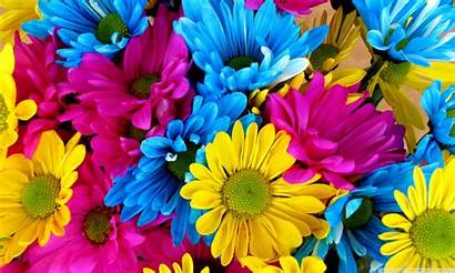 4k Colorful Daisies Flowers Uhd Pink Wallpapers