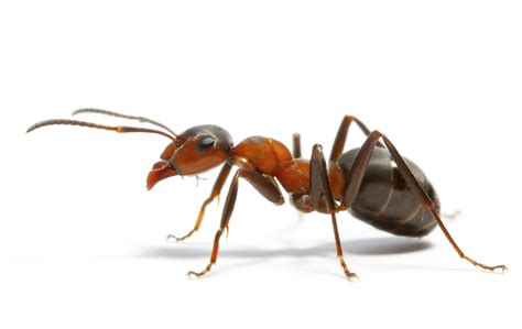 Ant White Background Images   All White Background