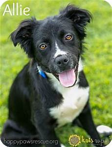 Allie | Adopted Dog | South Plainfield, NJ | Border Collie ...