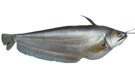 boal fish characteristics modern farming methods