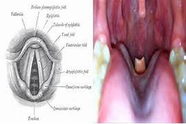 Epiglottis vs Glottis   Differ Two  Epiglottis