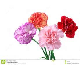 purple carnations carnations royalty free stock image image 5199346