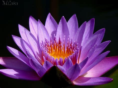 Andreas: Flor De Lotus Mensagem De Boa Noite