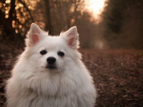 Free Images White Puppy Animal Cute Pet Portrait