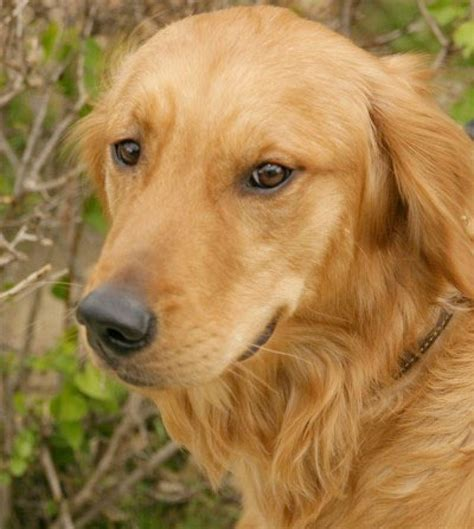 golden retriever dogs  puppies golden retriever pictures
