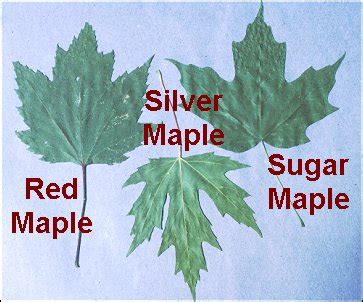 different maple tree leaves the ultimate blog post on the sugar maple woolyacres