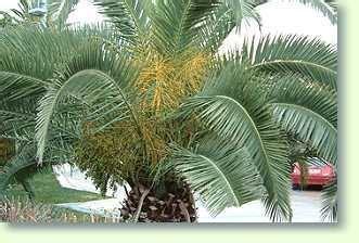 phoenix dactylifera dattelpalme pflegen pflanzenfreunde