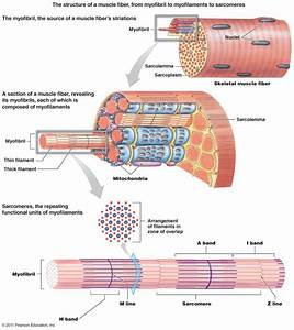 Gross Anatomy Of Skeletal Muscle The Muscular System Micro