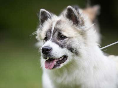 thai bangkaew dog information characteristics facts names