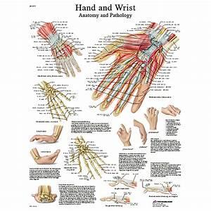 Hand And Wrist Chart Laminated Chart 20 U0026quot  X 26 U0026quot