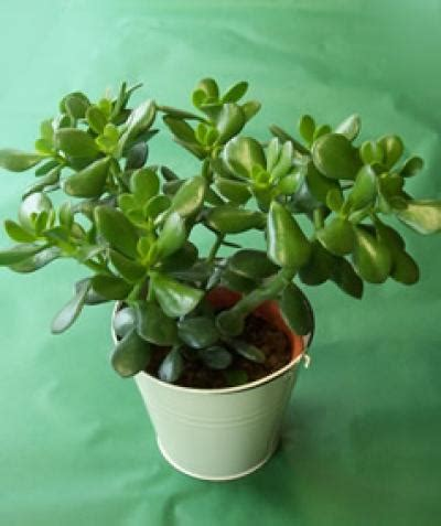 fortune cookies where to buy is cool lucky money plant