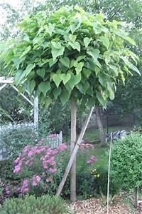Kleiner Baum Mit Breiter Krone : kugel trompetenbaum catalpa bignonioides pflege tipps ~ Michelbontemps.com Haus und Dekorationen