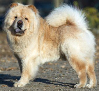chow chow faq frequently asked questions