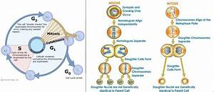 Diagram Cell Cycle Meiosis