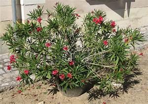Laurier Rose Maladie : hobbesworld detail sur les arbres nerium oleander ~ Melissatoandfro.com Idées de Décoration