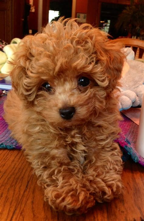 Our Adorable Poodle Puppy Everything Pinterest