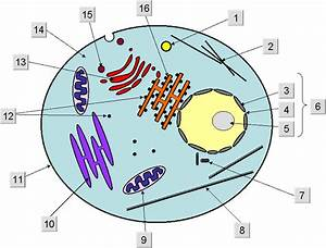 Free Animal Cell Unlabeled  Download Free Clip Art  Free