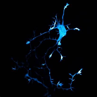Neuron Brain Gifs Neurons Andrew Moore Most