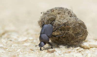 learn  scarab beetles   family scarabaeidae