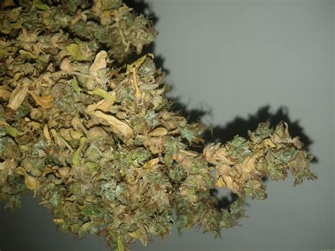 what is the best indoor plant mikromachine by kannabia seeds seedfinder strain info