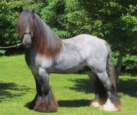 horses horse gypsy vanner breeds roan clydesdale stallion touchdown unusual unique most stallions draft sd stables pretty spruce ridge friesian