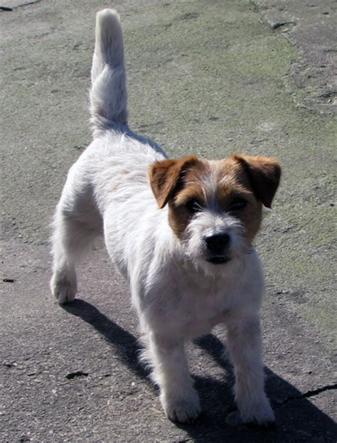 die huendin dolcenera armonia canina jack russell terrier