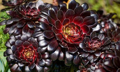 aeonium arboreum aeonium arboreum var atropurpureum zwartkop schwarzkopf black tree aeonium