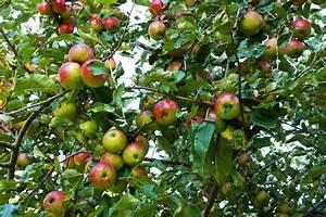 Wann Apfelbäume Schneiden : apfelbaum schneiden anleitung apfelbaum schneiden ~ Lizthompson.info Haus und Dekorationen