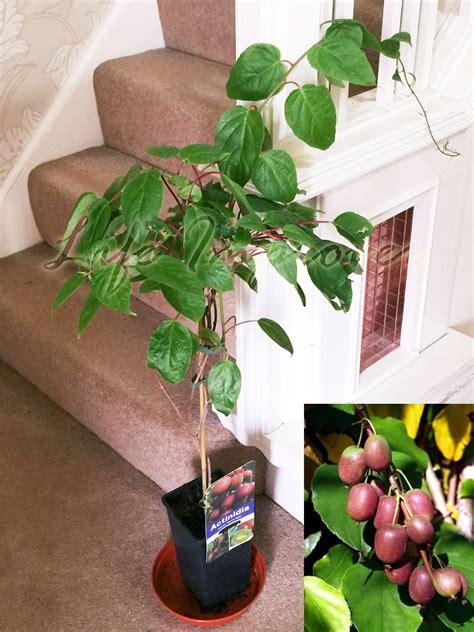 hardy kiwi actinidia arguta kens tara vine fruit tree climber plant in pot ebay