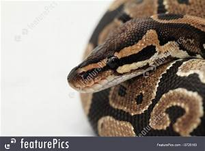 Wildlife: Ball Python Close Up - Stock Picture I3725163 at ...