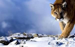 Snow Mountain Lion | Wallpaper Zoom
