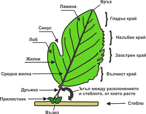 Leaf Part Diagram by What Are The Parts Of A Leaf Paperwingrvice Web Fc2