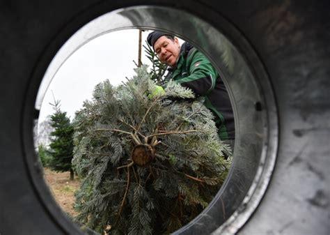 wo steht der größte natürliche weihnachtsbaum wiesbadenaktuell die suche nach dem perfekten weihnachtsbaum