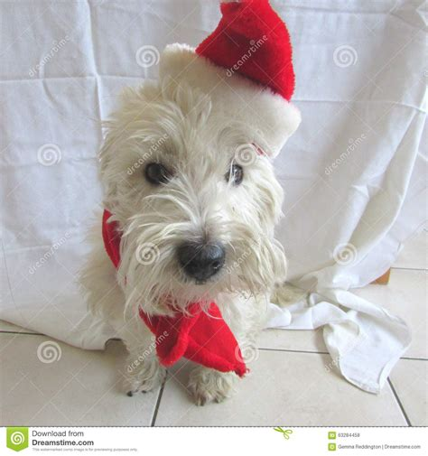 Terrier Dressed As Santa Claus Stock Photo Stock Photo Westie Terrier Wearing A Santa Hat For