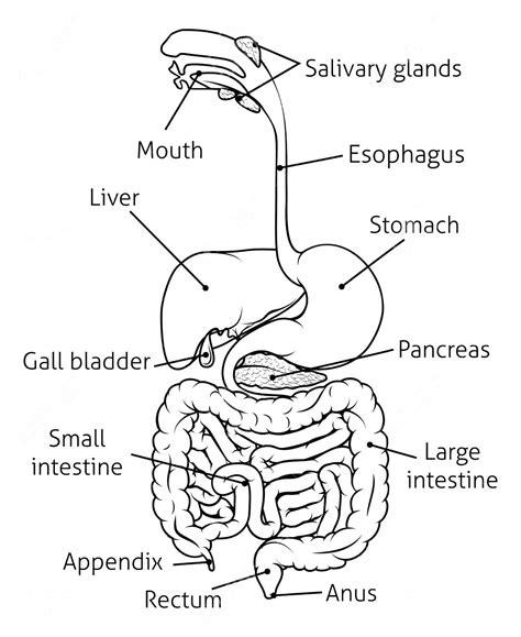 Human Digestive System Drawing At Getdrawingscom Free