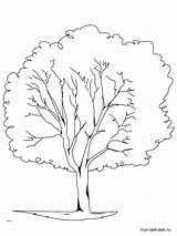 Tree Coloring Oak Pages Elm Trees Pine Printable Drawing Bare Redwood Rainforest Plants Planting Template Getdrawings Getcolorings Pa Drawings Sketch sketch template