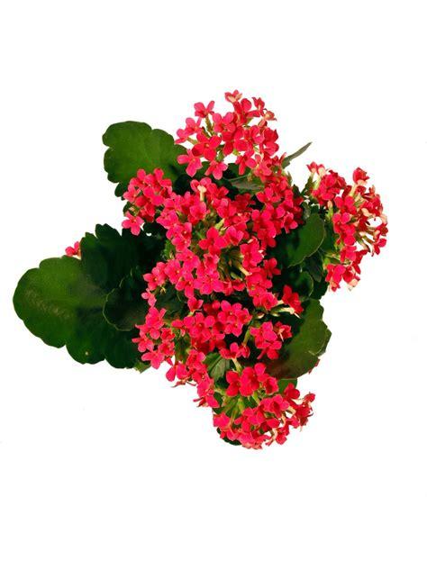 flammendes kaethchen rot pflanzenklick