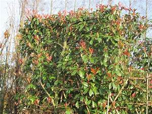 Photinia Fraseri Robusta Compacta : red robin op stam snoeien stunning photinia x fraseri red robin photinia tree shrub majestic ~ Buech-reservation.com Haus und Dekorationen