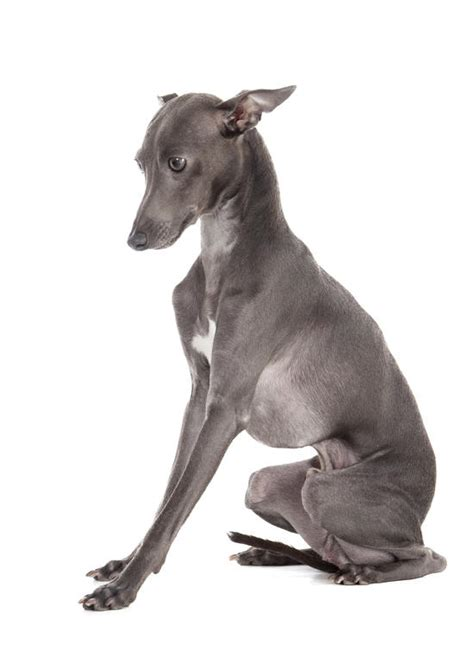 do italian greyhounds shed top 30 dogs that don t shed small medium and large