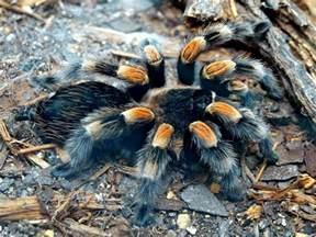 Pumpkin Spider Wiki by Popular Tarantula Species Fun Animals Wiki