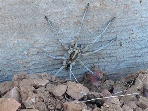 pest control  spider extermination phoenix mesa az