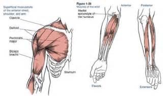 Shoulder Arm Muscles