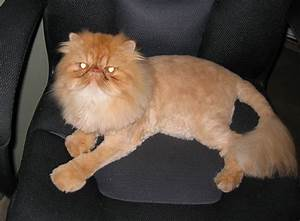 Orange Persian Cat Lion Cut |Angora Cat | ANIMAL ONLINE