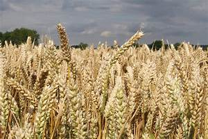 Winter Wheat Yields 2019 And 2020
