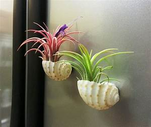 Air plant display ideas and care tips - small garden ideas